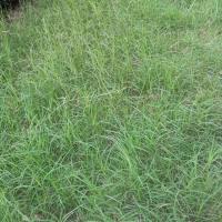 廣西南寧狗牙根種子護坡固土草籽耐踐踏免修剪草坪百慕大草種