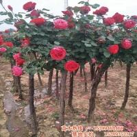 陕西独杆月季树种植基地 周至苗圃月季种植供应商