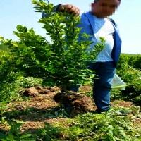 陜西綠化苗木價格 西安冬青球基地 周至冬青苗80厘米高