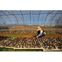 食用菌温室大棚的通风管理