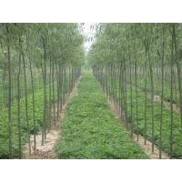绿化苗木  专业苗木种植基地