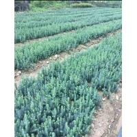吉林1.5米高樟子松容器苗2米高绿化樟子松