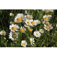 供应白晶菊一级种子及其他观赏草花