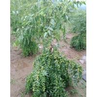 陕西酸枣苗基地,常年供应酸枣苗、周至酸枣苗价格