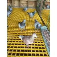 养殖鸽舍地网25mm漏粪篦子易清洗玻璃钢格栅