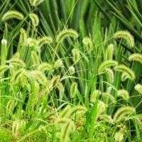 南寧景龍生態大量狗尾草等草種種子批發