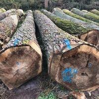 金威木业进口欧洲 杨木原木
