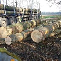 德国金威木业欧洲进口 白蜡木 原木ABC级
