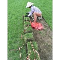 广西供应蓝花楹美丽木棉等各种绿化苗木