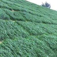 貴州貴陽黑麥草種子多年生護坡草籽高產抗寒牧草種子