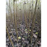 无絮杨树啥品种生长的最快 无絮杨树苗价格 无絮杨基地